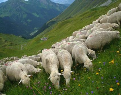 Photo - moutons-compress-269