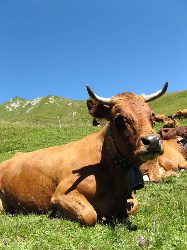 Photo - Vache Tarine
